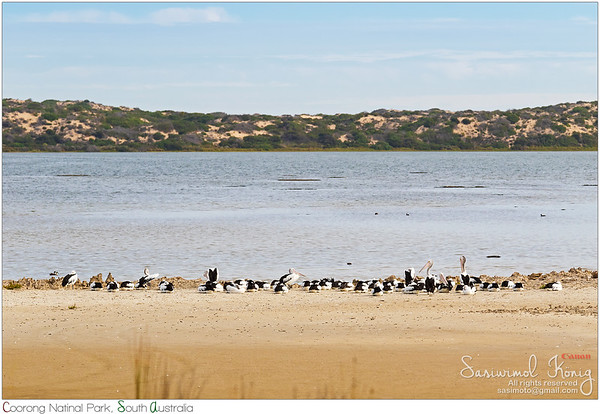 A flock of Australian Pelicans near waterfront at Coorong