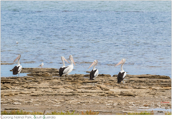 Australian Pelicans deciding to fly or to stay