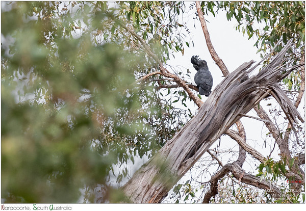 Red-tailed black cockatoo, too bad it is way too far