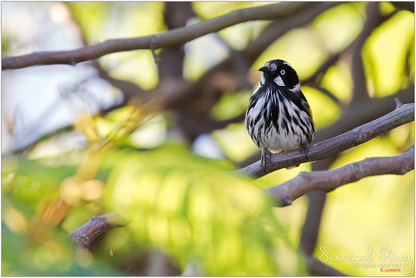 New Holland Honeyeater ..full of black and white streaks with yellow wing patch. White iris