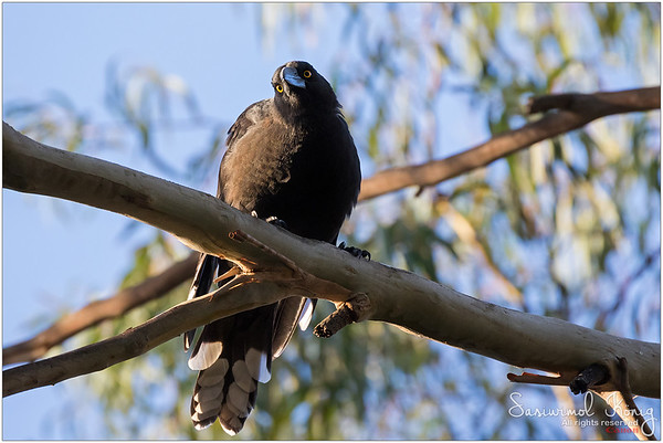Black currawong.. sometimes I wonder if it could really see me