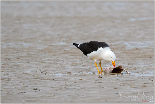 Pacific Gull pecking out fresh meat from Rays fish