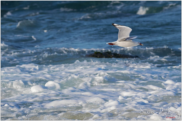 Silver Gull with fresh lunch