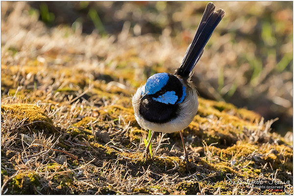 Superb Fairy-wren (Male) with his distinctive blue crown, ear coverts, upper back