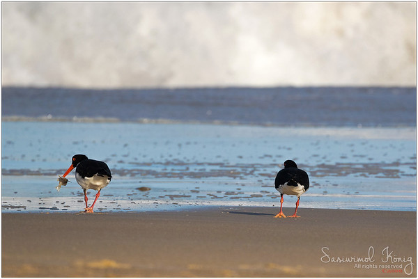 Pied Oystercatcher with its dinner