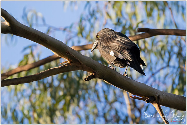 Currawong on Eucalyptus branch