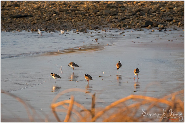 Masked Lapwings are preening themselves. Beautiful sunset view for them