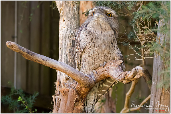 Tawny frogmouth with the who-woke-me-up-face? LOL