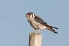 American kestrel, Halconcito común, Falco sparverius, Aguas Dulces, Uruguay, Dec-2012