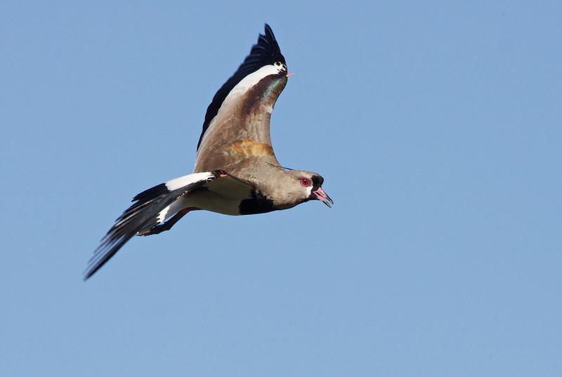 Southern Lapwing, Tero común, Vanellus chilensis, Aguas Dulces, Uruguay, Dec-2012