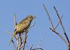 Great pampa-finch, Verdón, Embernagra platensis, juvenile, Aguas Dulces, Uruguay, Dec-2012