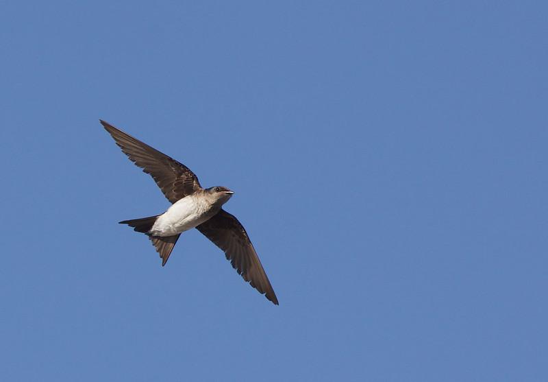 Southern rough-winged swallow, Golondrina cuello canela, Stelgidopteryx ruficollis