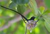 Seychelles paradise flycatcher, Terpsiphone corvina, Male, La Digue, Seychelles, Feb-2014