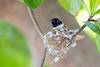 Seychelles paradise flycatcher, Terpsiphone corvina, Female, La Digue, Seychelles, Feb-2014