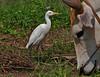 Cattle Egret, Kohejre
