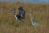 Great egret and Grey heron, Vestamager, Danmark, Oct-2014