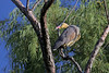 Whistling Heron, Pibehejre, Syrigma sibilatrix, Carmelo, Uruguay, Dec-2009