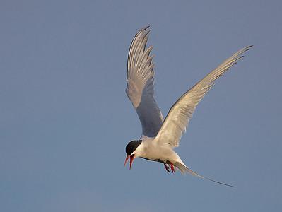 Gulls and terns (Laridae)