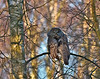 Great Grey Owl, Laplandsugle, Strix nebulosa, Falsterbo, Sverige, March-2009