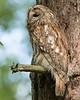 Tawny Owl, Natugle, Strix aluco
