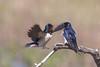 Barn Swallow, Landsvale
