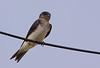 Southern rough-winged swallow, Golondrina cuello canela, Stelgidopteryx ruficollis, Aguas Dulces, Uruguay, Dec-2012