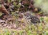 Bluethroat fledgling