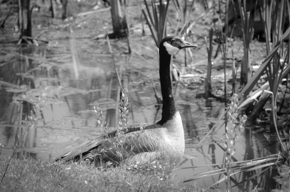 Canada Goose in black and white