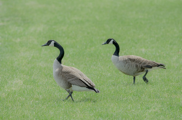 Canada Geese out for a Sunday stroll