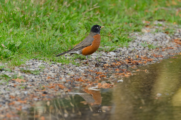 A North American Robin's reflection...