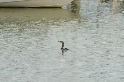Cormorant cruising the marina...