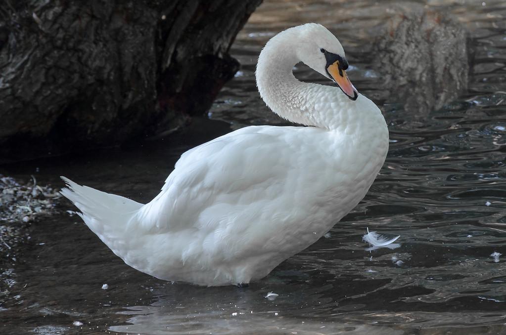 Trumpeter Swan preening...
