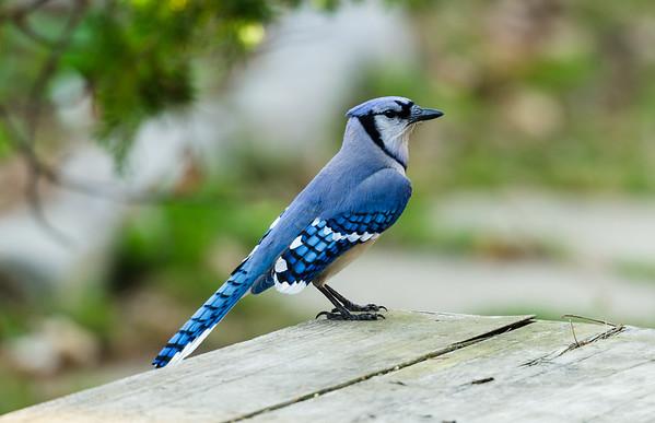 Blue Jay visit