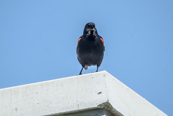 Shouting Red-Winged Blackbird