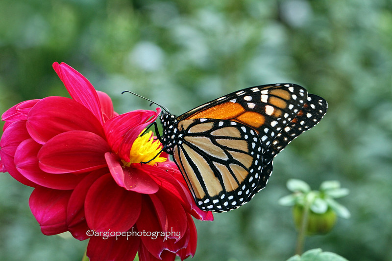 Monarch butterfly on dahlia.  Sherman Library and Garden, Corona del Mar, California