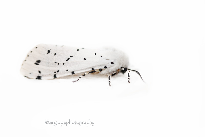 Salt Marsh Moth on White
