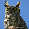 Great Horned Owl, with prey.  Not the best shot, but it's an owl, hunting in broad daylight.  A first for me.