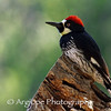 Acorn Woodpecker Early in the Morning