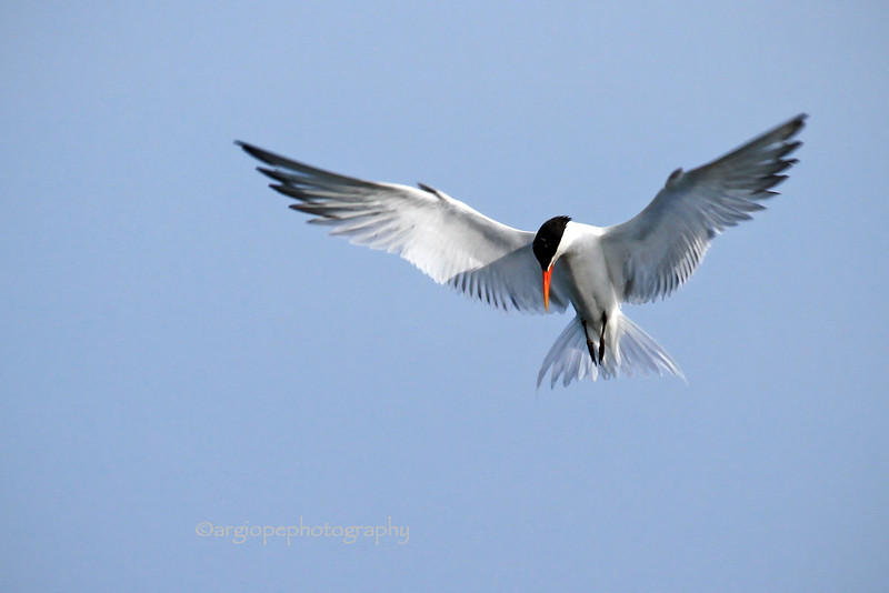 Forster's Tern, Bolsa Chica Ecological Reserve, Orange County California