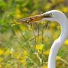 Great Egret with prey, Bolsa Chica Ecological Reserve, Orange County California