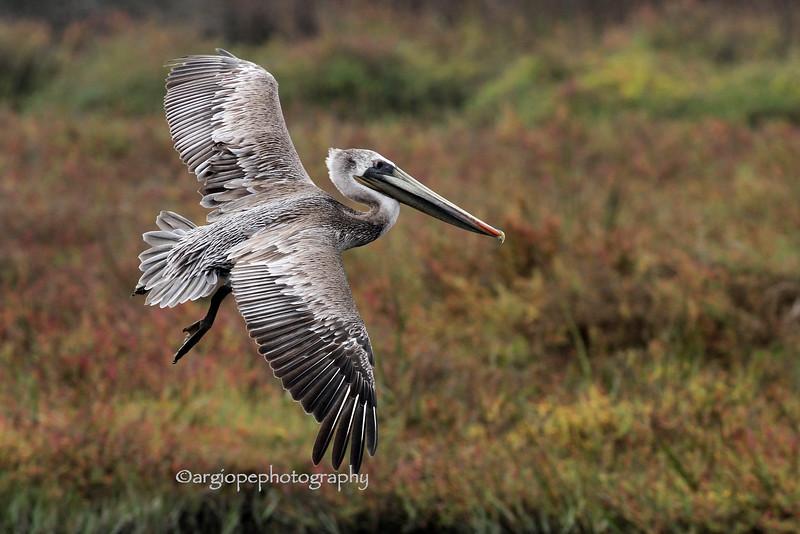 Brown Pelican, juvenile, Bolsa Chica Ecological Reserve