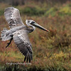Brown Pelican, juvenile, Bolsa Chica Ecological Reserve