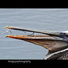Brown Pelican, Bolsa Chica Ecological Reserve, Orange County California