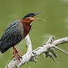Green Heron, spring, El Dorardo Park, Long Beach, CA