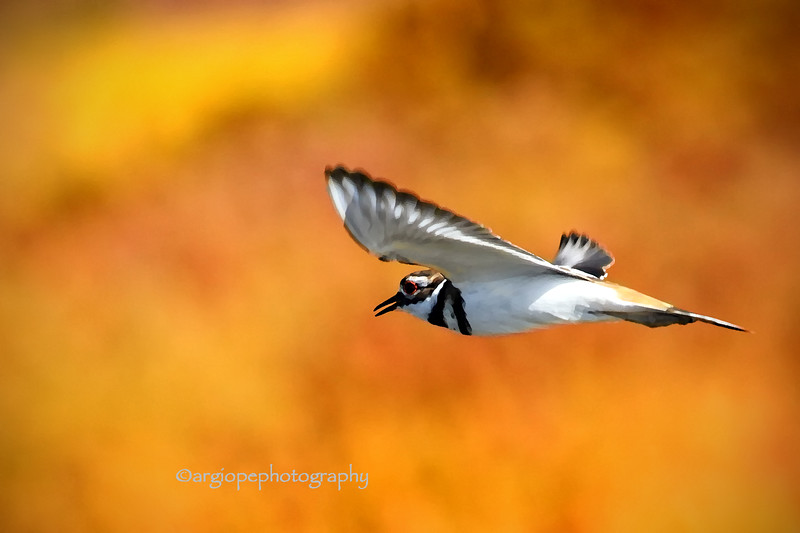 Killdeer in flight.  Bolsa Chica Reserve, Orange County, California