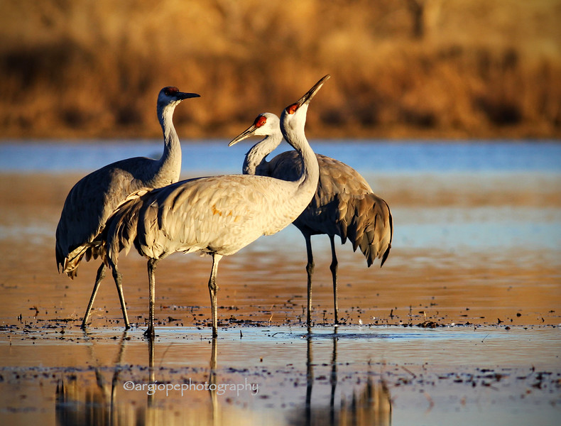 Sandhill Cranes. Bosque Del Apache National Wildlife Refuge, New Mexico