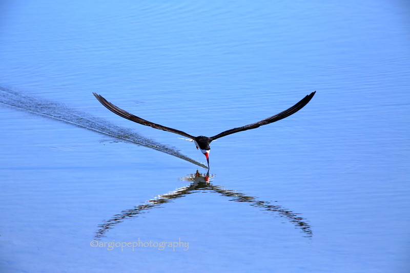 Precision: Black Skimmer Feeding