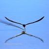 Precision: Black Skimmer Feeding