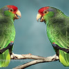 Mitred Parakeets, Long Beach, California