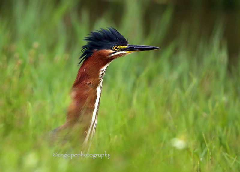 Green Heron, rising through wet grass.